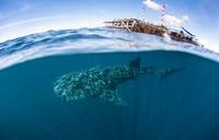 Свободное погружение и наблюдение за китовыми акулами в Папуа, Индонезия