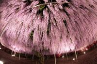 11 невероятных снимков самой большой и великолепной глицинии, растущей в Японии