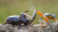 Фотограф запечатлел самое крошечное родео в мире: лягушка на жуке
