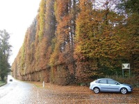 Самая длинная и высокая живая изгородь из буков в мире