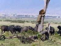 Что так сильно испугало льва и заставило короля джунглей взобраться на дерево?!