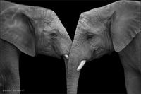 Слоновья любовь: Трогательные фотографии гигантов, которые покорили мир