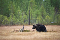 Финский фотограф запечатлел необычную дружбу волка и медведя