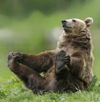 Бесценные уроки йоги от медведей из разных уголков нашей планеты