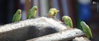 Индиец 10 лет кормит 4000 попугаев