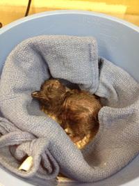 В зоопарке Цинциннати родился пингвиненок, которого назвали Боуи