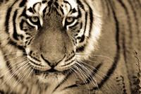 12 впечатляющих портретов больших кошек