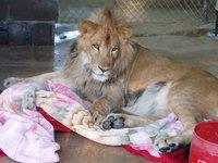 Спасенный львенок не может спать без своего одеяльца, несмотря на то, что уже вырос