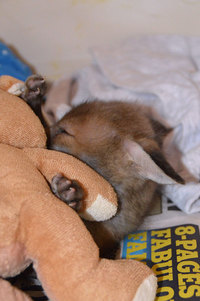 Спасенный детеныш лисы не расстается со своей игрушкой — плюшевым кроликом