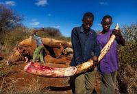 Ужасающая правда о том, кто и зачем убивает слонов. Это шок!