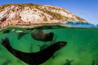 Лицом к лицу с морским котиком: 11 удивительных фото