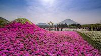 4,5 миллиона цветов немофилы расцвели в Японии. И это потрясающе!
