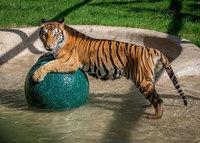 Когда этого тигренка нашли в цирке, он весил 1/4 своего нормального веса...