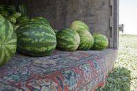 Как выращивают арбузы в Дагестане