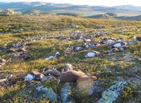 Недавно сотрудники норвежского парка обнаружили на поле сотни трупов оленей...