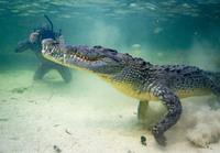Он притворился крокодилом, чтобы подойти к хищнику вплотную и сделать эти невероятные кадры