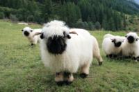 Пользователи сетей не могут понять: эти барашки из Швейцарии милые или дьявольски жуткие?