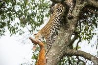 10+ интересных фактов о леопардах