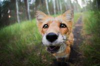 Познакомьтесь с самой фотогеничной и знаменитой лисой в мире, Фреей!