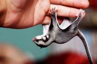 10 очаровательных снимков сахарных летяг — самых сладких и милых созданий в мире