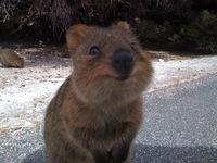 10 уморительных фото, доказывающих, что квокки — самые счастливые животные в мире