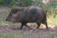Кукушки выдают себя за свиней, чтобы спастись от хищников