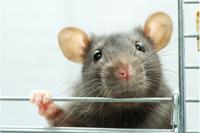 Одиночество делает мышей более агрессивными