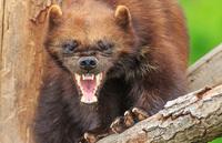 Победить или умереть: о самом агрессивном звере в России