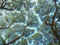 10 любопытных примеров «застенчивых крон» — феномена деревьев, избегающих контакта