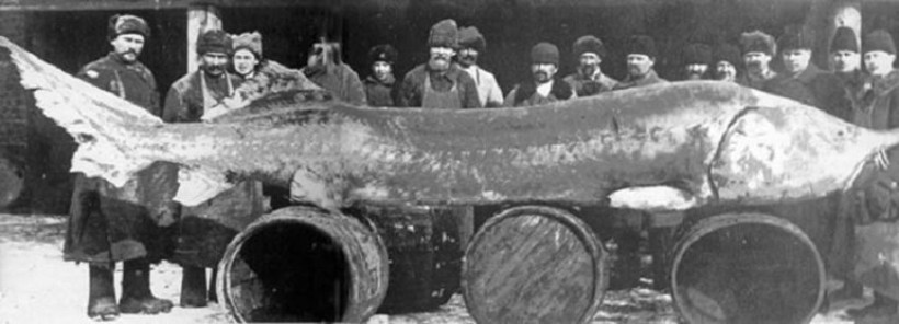 самая большая белуга пойманная рыбаком