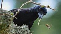 В решении сложных задач какаду смогут составить конкуренцию воронам