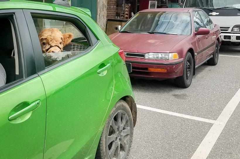 Теленок, выросший с собаками, думает, что он пес