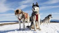 Жители Сибири были первыми, кто занимался выведением пород собак