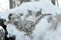 10 очаровательных фотографий снежных барсов, которые заставляют влюбиться в них