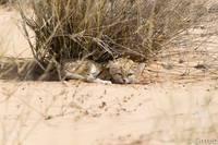 На камеру впервые попали дикие песчаные котята, и они совершенно восхитительны