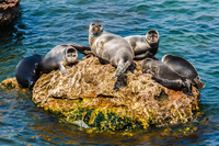 Как в озере Байкал оказались тюлени