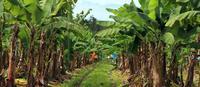 Почему бананы скоро исчезнут с прилавков магазинов