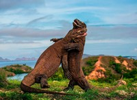 Совершенная рептилия: самке варана не нужны самцы для размножения