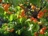 Абрикосовые сады на берегу Енисея: чудо селекции или особенности климата