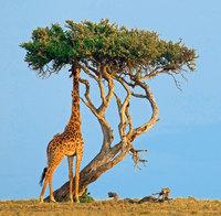 Против кого дружить: хитроумный союз муравьев и деревьев