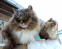 Весь мир без ума от кошачьей фермы в Сибири, которую создала российская семья