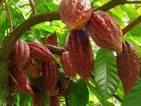 Любителям шоколада придется несладко: какао-деревья погибают от болезней и засухи