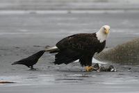 Вороны шутят над другими животными, дергая их за хвосты