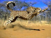 Гепарды: почему самые успешные охотники мира без боя отдают добычу ленивым соседям