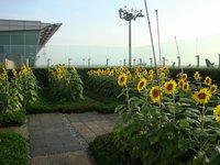 Оранжерея подсолнухов на крыше аэропорта