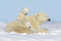 Какого цвета белый медведь на самом деле