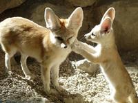 Фенек: зачем самой маленькой лисичке на планете такие большие уши