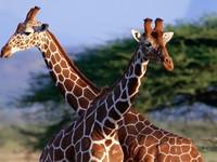 Жираф большой, ему трудней: как обеспечить питание мозга на шестиметровой высоте