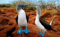 Почему у галапагосских олушей такие голубые ноги