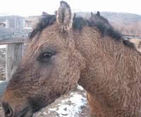 Забайкальская кучерявая порода: самые очаровательные лошади в мире